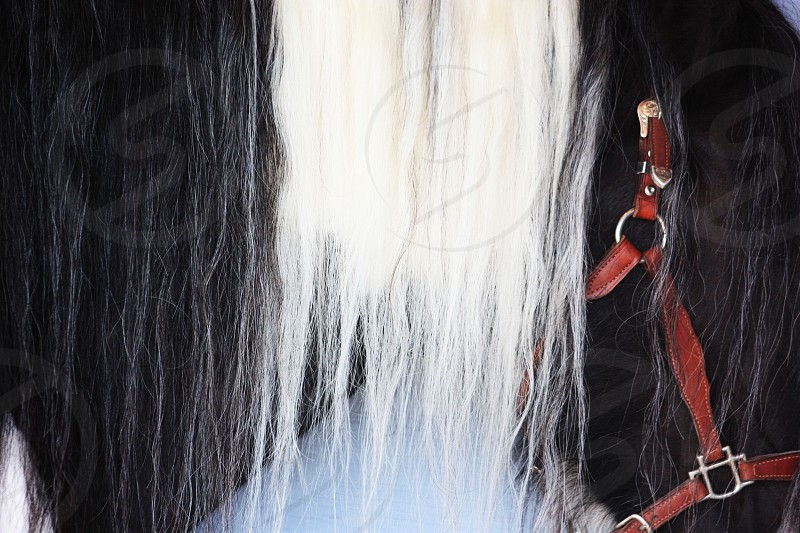 Beautiful close-up of horses mane. Also shows red bridle. horse hair long hair animal farm animal mane photo
