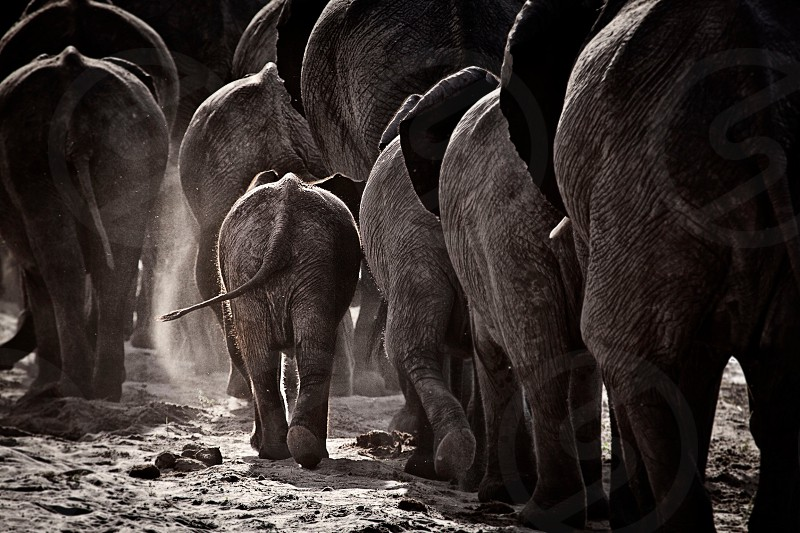 herd of elephants in black and white image photo