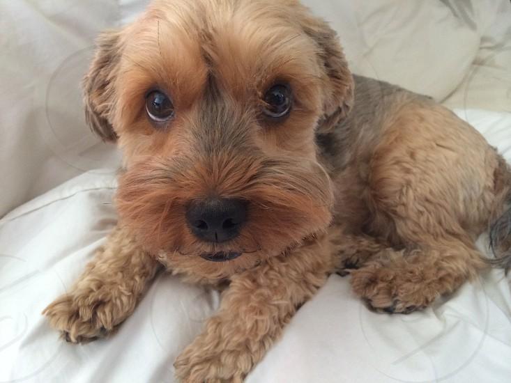 Yorkiepoo dog pouting cute photo