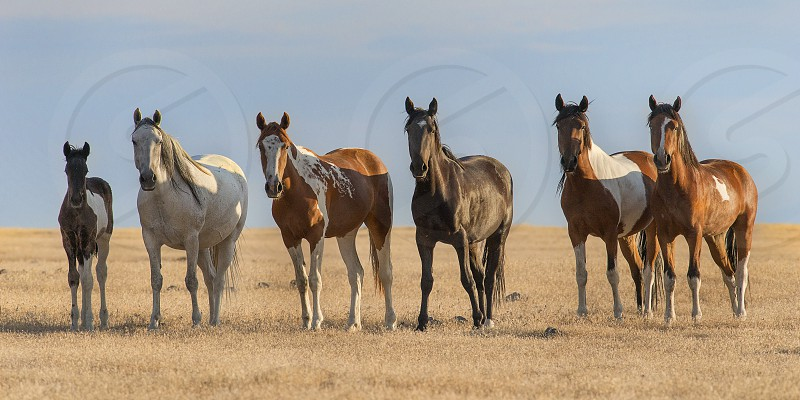 A small band of wild horses lines up as the keep a look out. photo