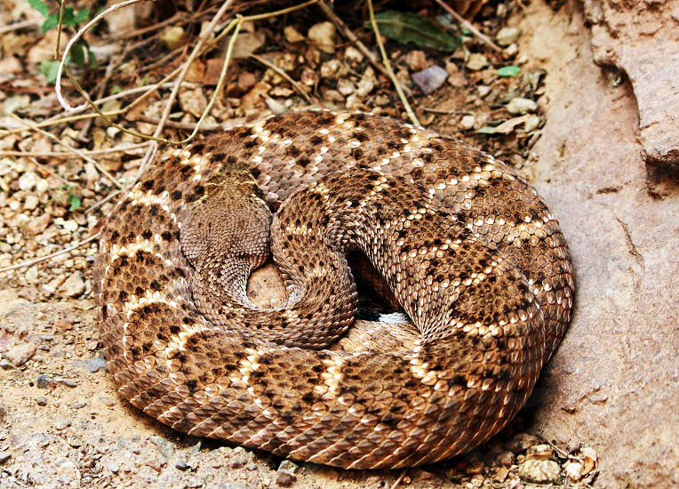 coiled brown diamond pattern snake on brown surface photo