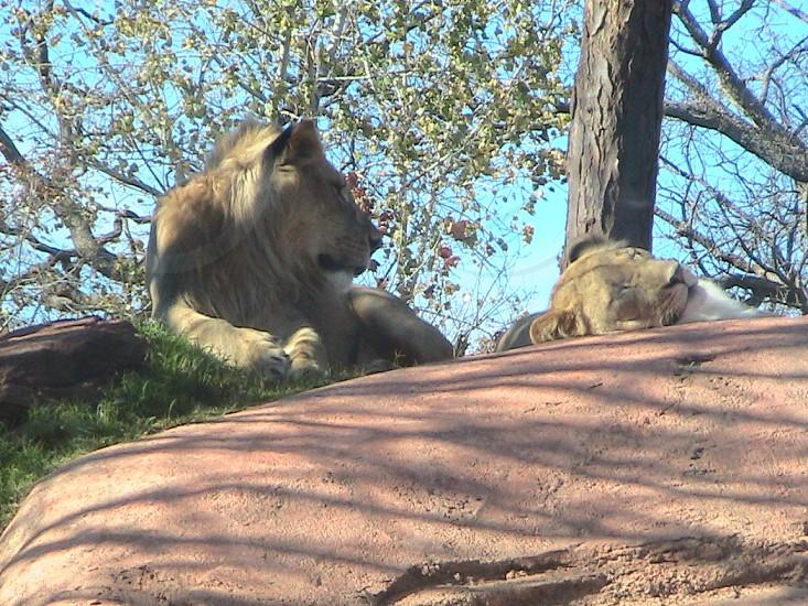 Lions at the Oklahoma City Zoo photo