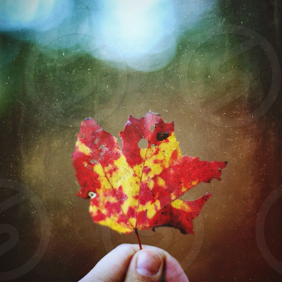 red and yellow maple leaf photo