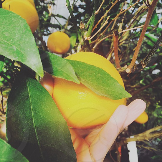Fruits orange color photography bold leaves naturegardenMother Nature green hands hold hang  photo