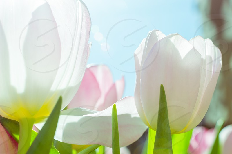 White and pink tulips against the blue sky on a sunny spring day photo