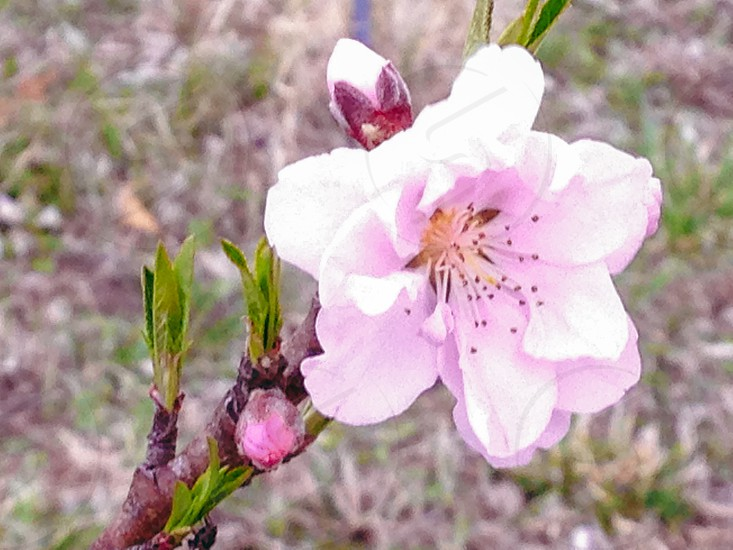 Spring Peach Blossom photo