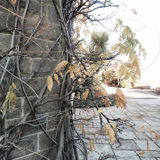 close-up photography of dried vine plants on grey brick wall beside pavement photo