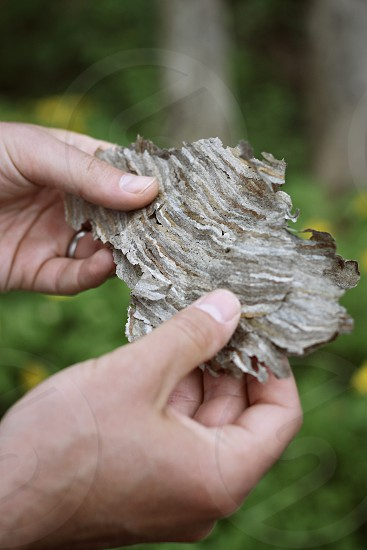 hands gently holding the delicate paper-like remnant of a hornets' nest. nature man photo