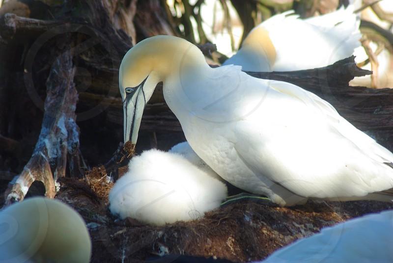 Gannets photo