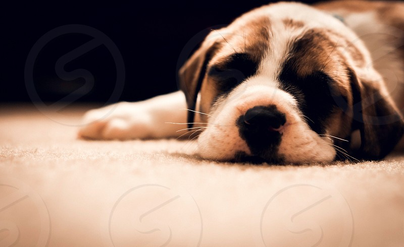 white and brown bulldog puppy photo