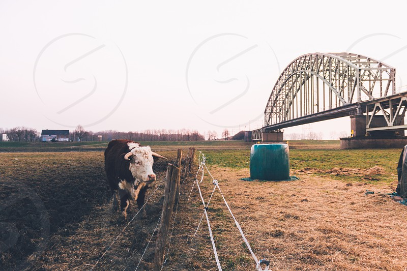black and white cow grazing inside pasture near grey steel bridge during daytime photo