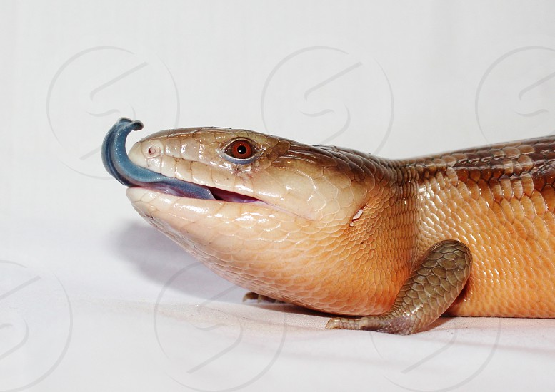 Blue Tongued Skink photo