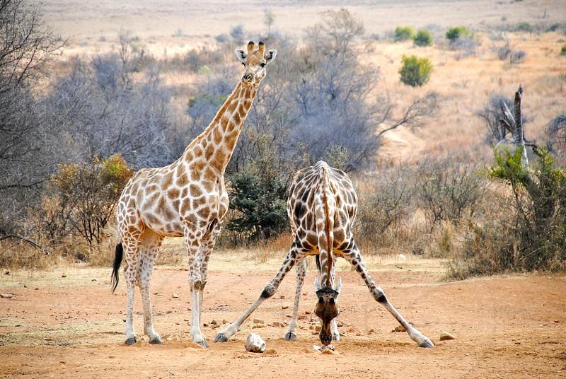 brown giraffe photo