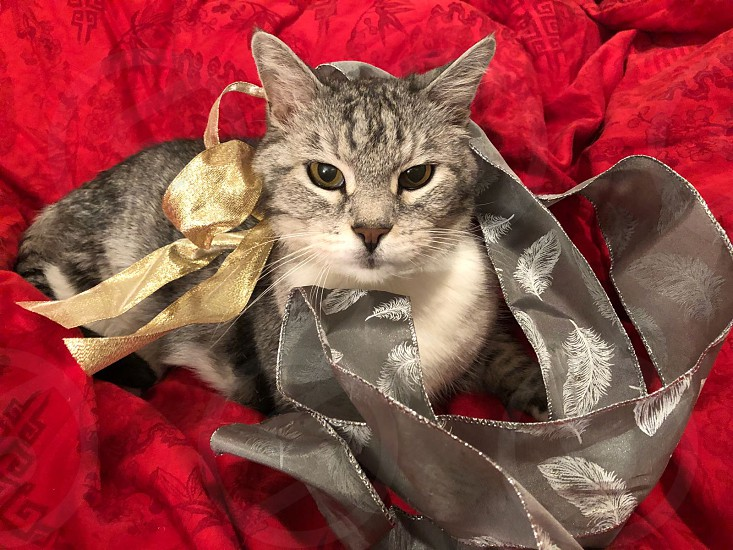 Grey cat with gold and silver Christmas ribbons photo