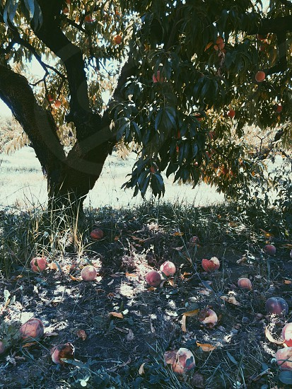 red peaches on green grass under green tree photo