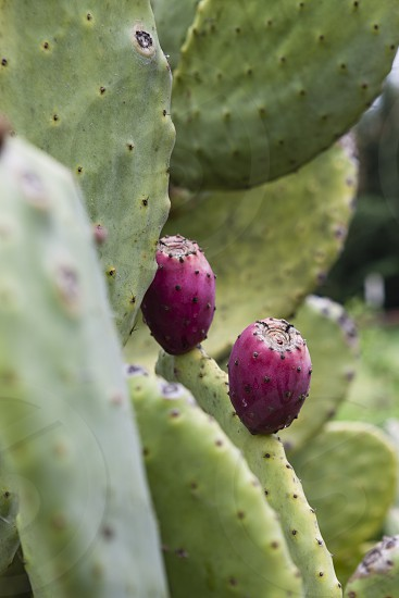 edible cactus fruit prickly pear desert green purple red thorn food  photo