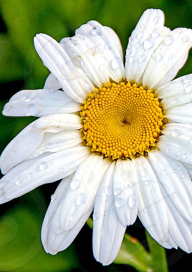 White and gold flower photo