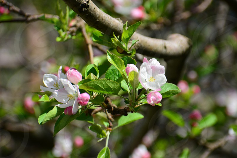 apple blossom from manali photo