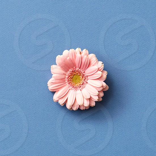 Fresh pink gerbera flower isolated on a blue background from Mother's Day or 8 march as greeting card photo