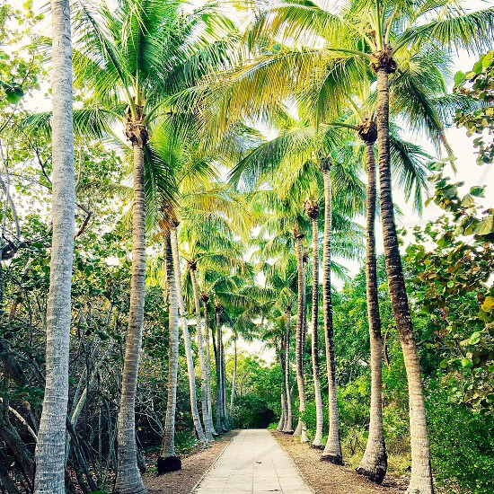 Miami tropical palm tree nature path symmetry green greenery florida  photo