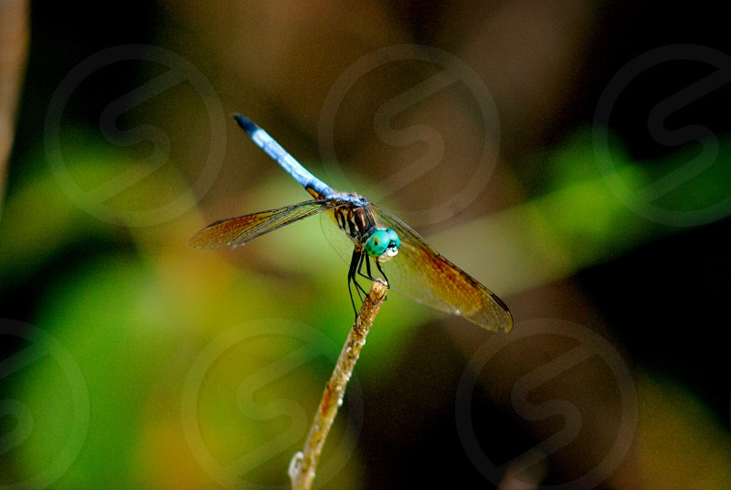 Nature Macro Dragonfly. photo