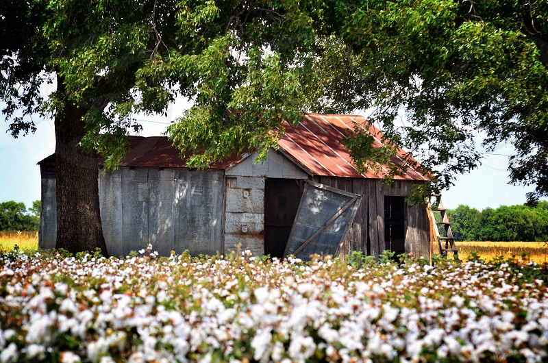 Cotton fields and rusting sheds. Texas USA. photo