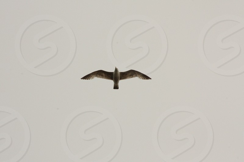 Bird seagull flying Sky photo