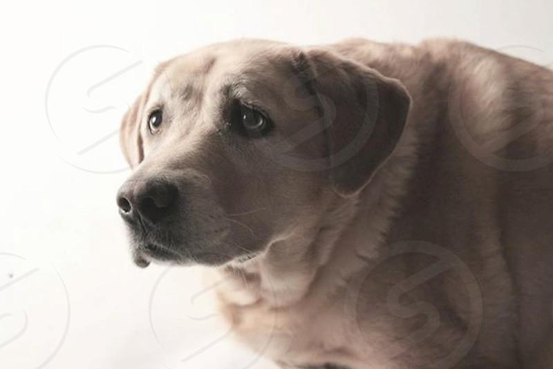 yellowlabdog photo