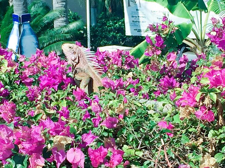 Iguana nature animals petslizards vacation islands virginislands travel love flowers trees photo
