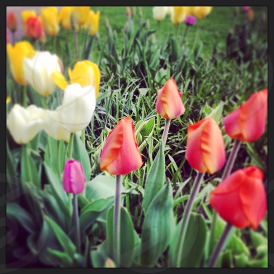row of yellow red white and pink Tulip flowers photo