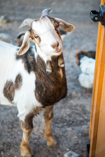 Cute pet Pygmy Goat photo