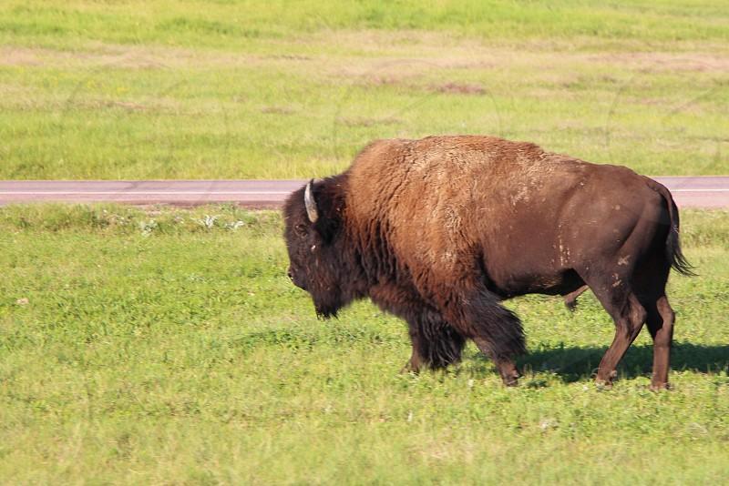 Open Range Buffalo photo