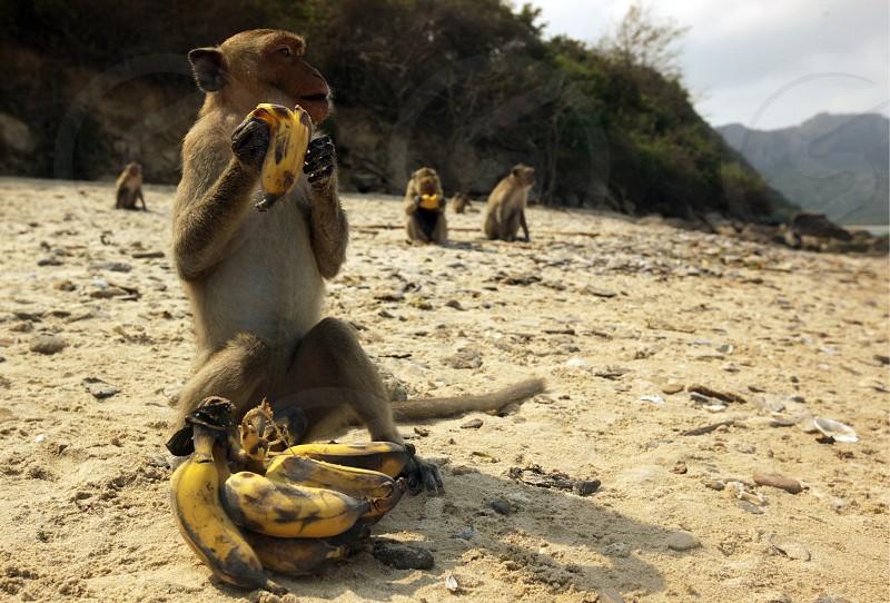 Wilde Affen auf der Monkey Island im Khao Sam Roi Yot Nationalpark am Golf von Thailand im Suedwesten von Thailand in Suedostasien.   photo