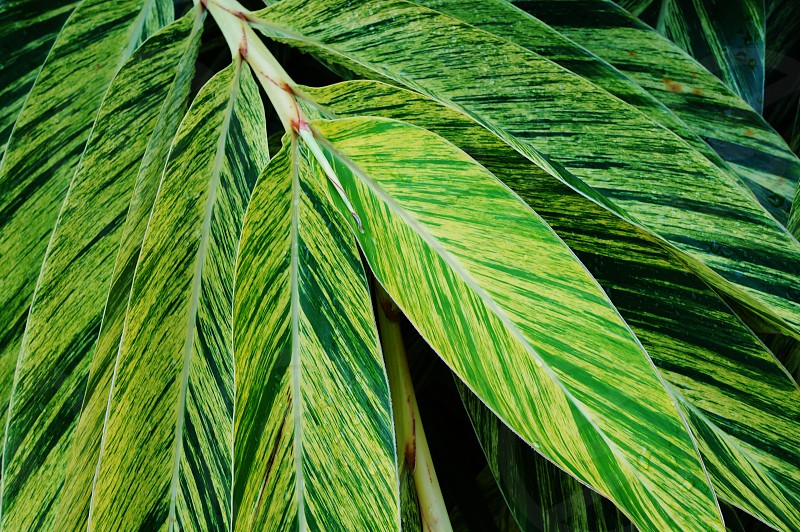 Variegated green leaves of tropical ginger plant photo