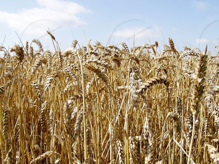 green wheat plant photo