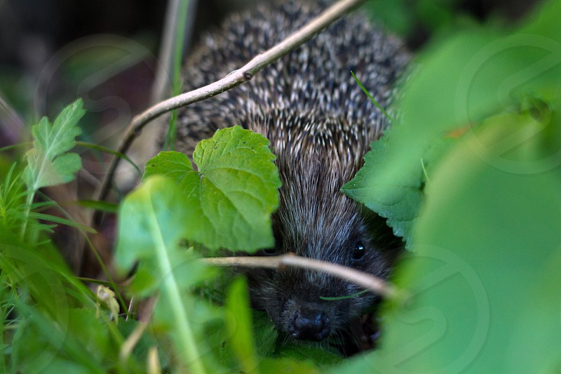 Hedgehog in the bushes. photo