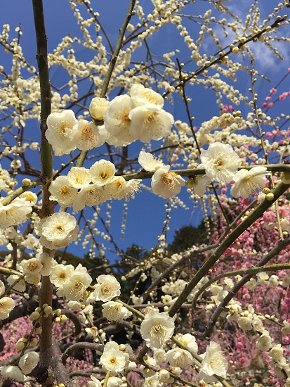 photo of white flowering tree during daytime photo