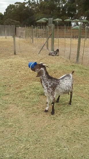 Goat feeding itself photo