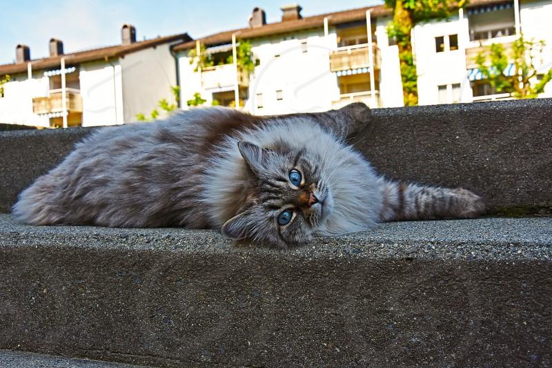blue eyes cat photo