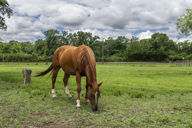 Single brown horse with a white blaze on its forehead grazing on the green grass of a ranch pasture with trees in the horizon beneath a mostly cloudy summer afternoon. photo