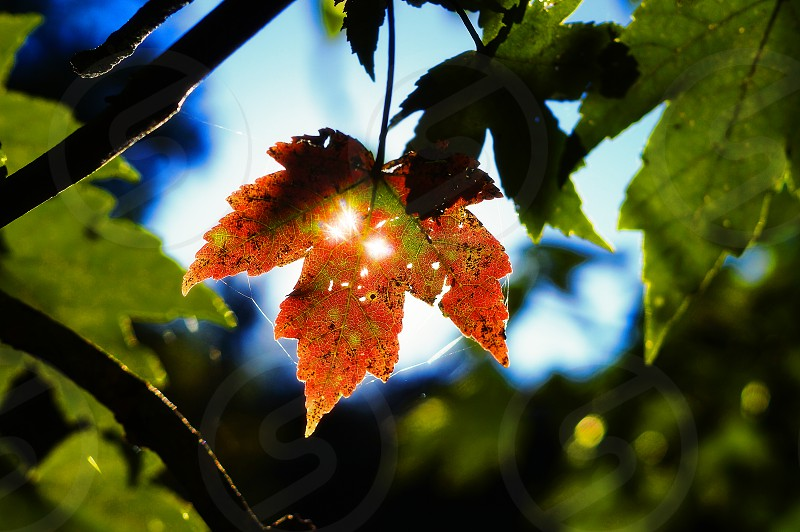 autumn leaf.    fall autumn leaf sunlight sun sunshine colors red green blue maple light ray change different unique  photo