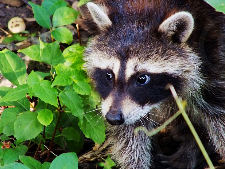 Close up Raccoon face with their signature sneaking masks. Macro-style face portrait of raccoon. photo