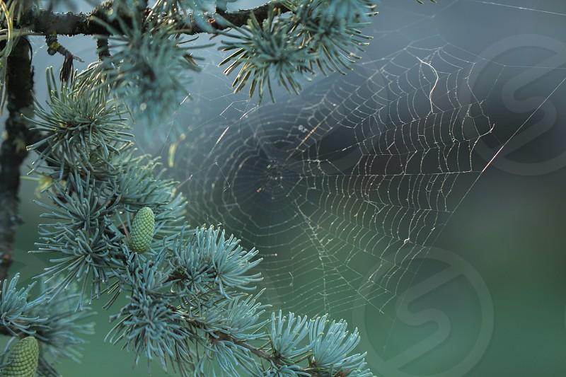 spiderweb on conifer tree photo