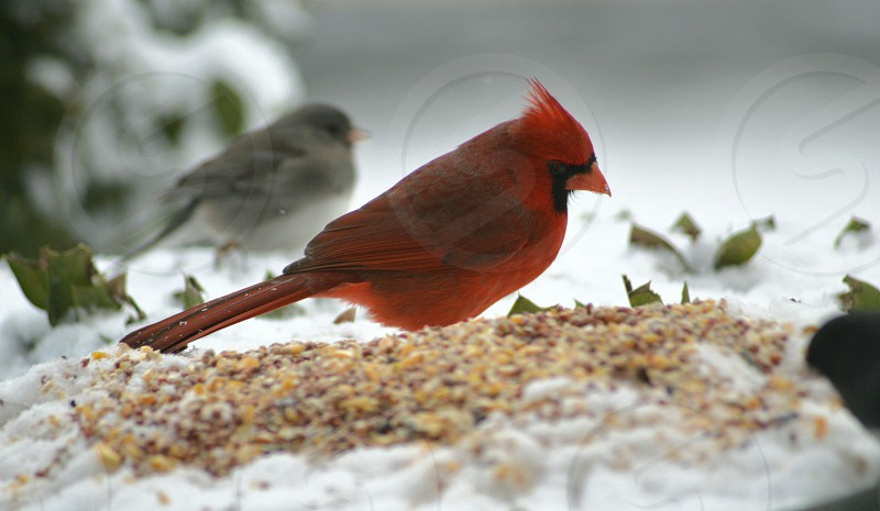 red cardinal next to sparrow bird in the snow with green small leaves photo