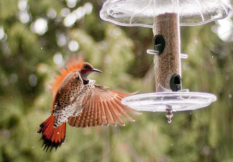 Northern flicker woodpecker coming in for a landing at a bird feeder.  photo