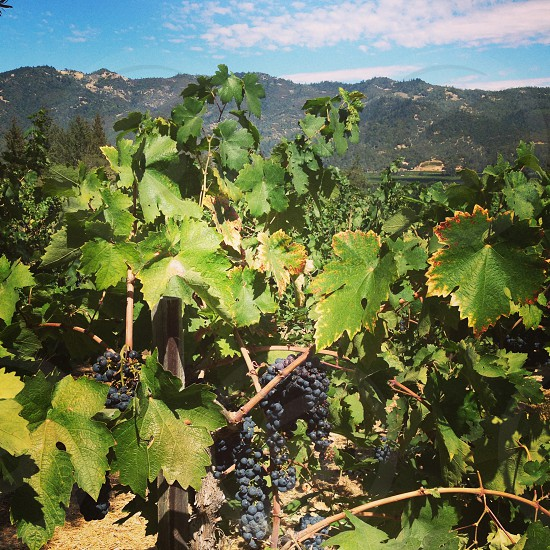 vineyard shot in california photo