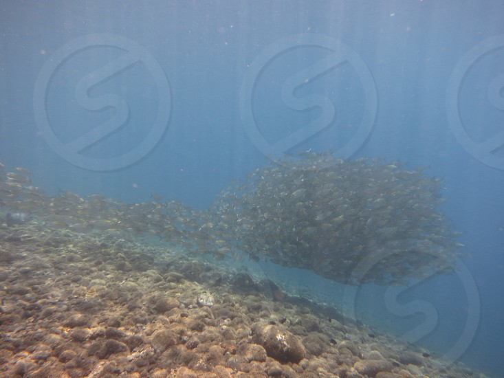 underwater photography of shoal of grey fishes near brown corals photo