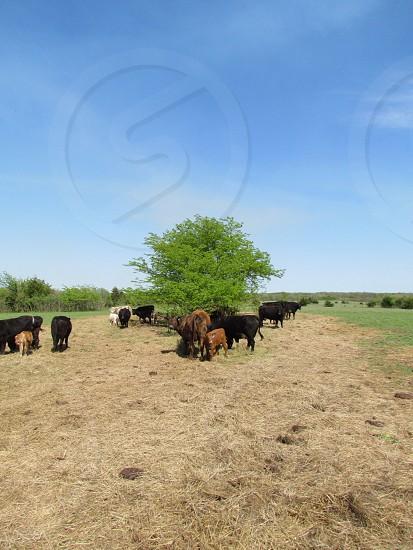 Cattle on the hayfield. Grassland grass cow prairie hay bovine photo