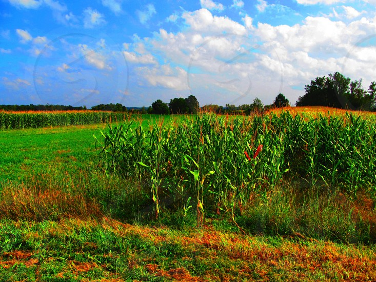 Corn is ready for eating must be fall in Pennsylvania again photo