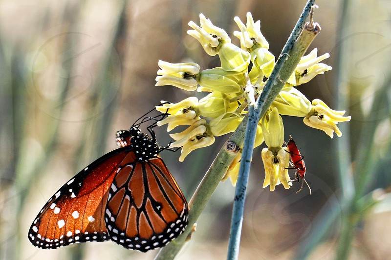 Orange Monarch butterfly perches of a yellow Spring flower photo